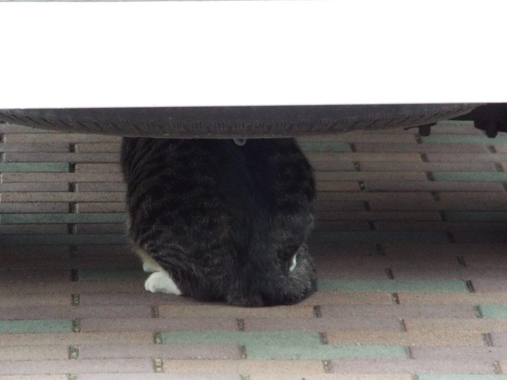 でっかい猫の画像