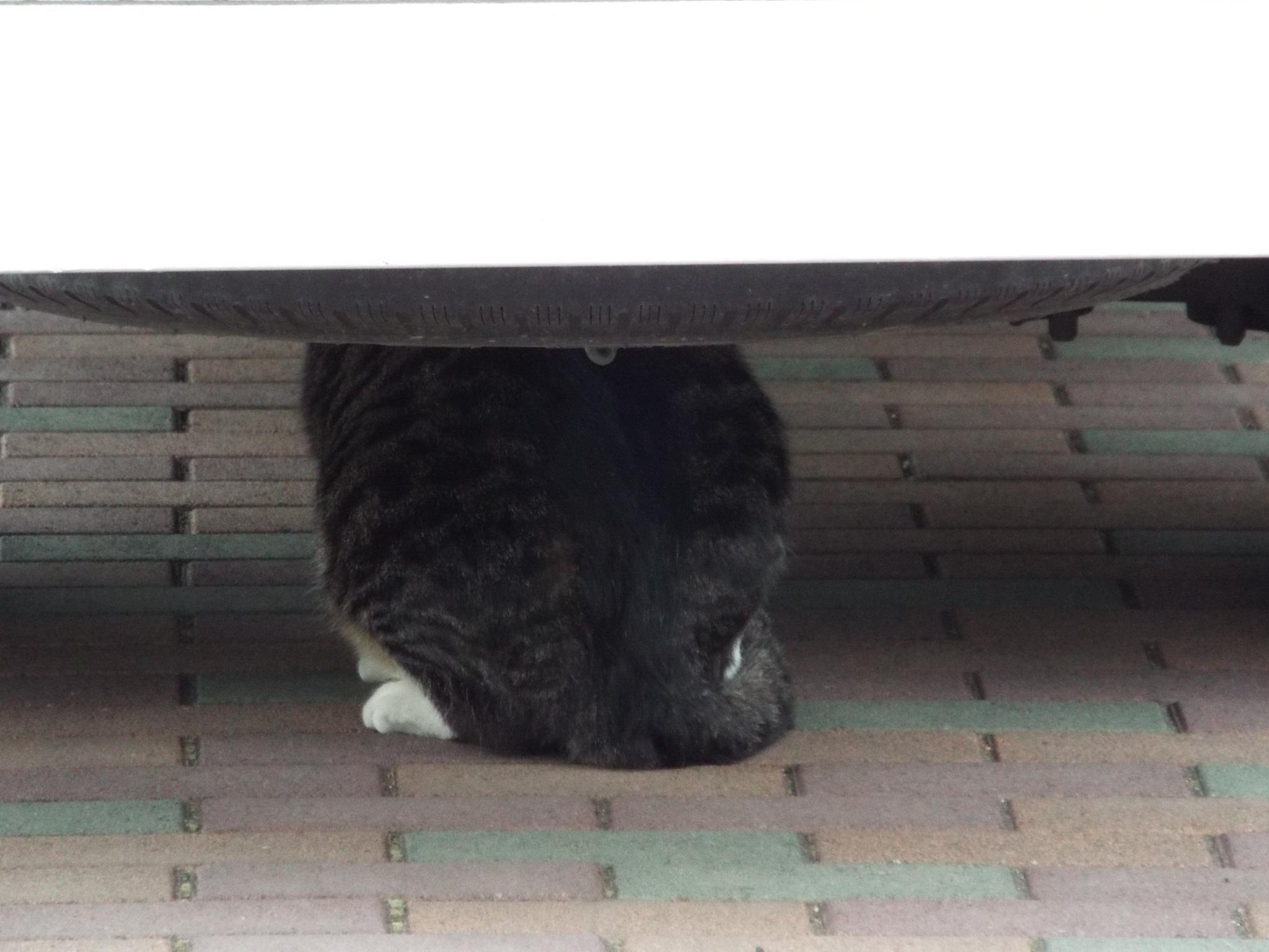 でっかい猫